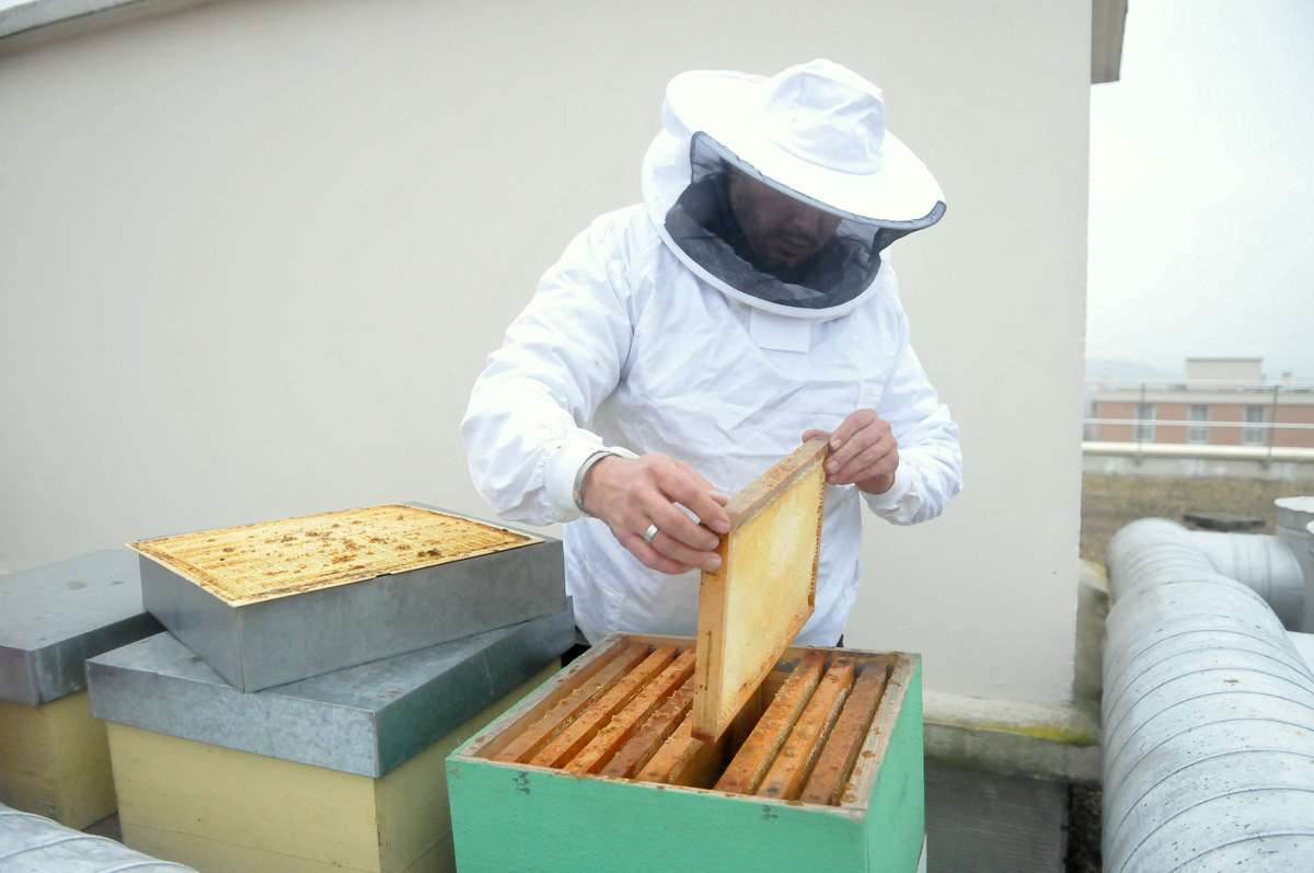 La manipulation des cadre où les abeilles emmagasinent le miel.
