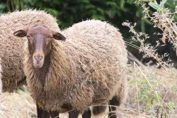 dammartin-moutons-ccpmf-5