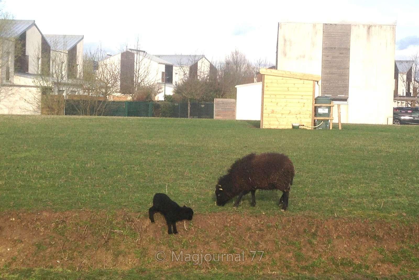 Mitry-Mory-L'agneau de l'éco-pâturage